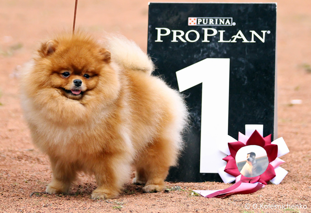 Pomeranian - J.S. FIRST EPISODE A NEW HERO