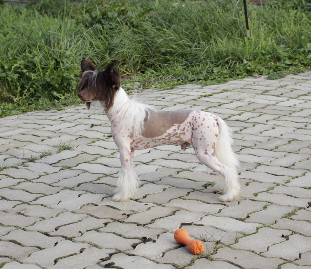 Chinese crested dog - Vernisazh Mari Lucky (HL)