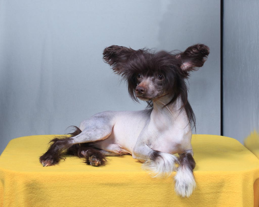 Chinese crested dog - Vernisazh Mari Adams (HL)