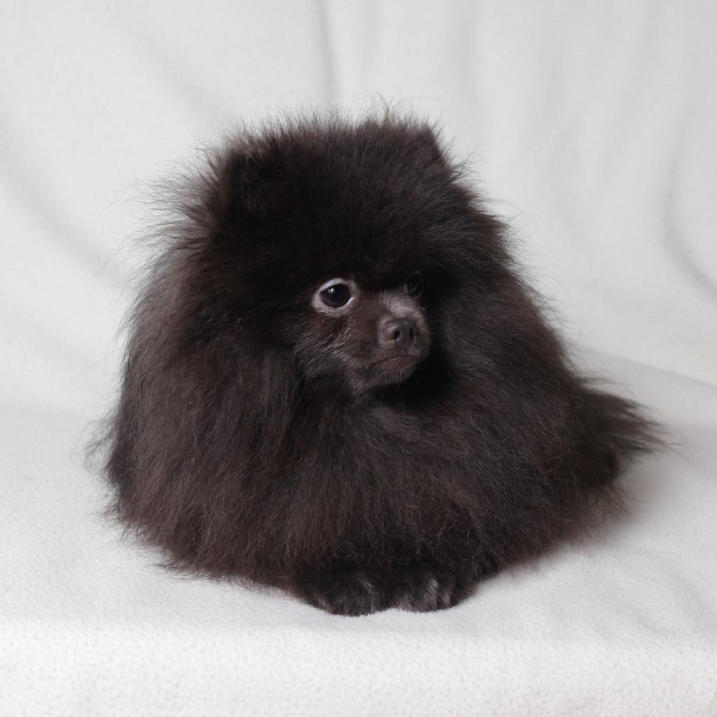 Pomeranian - Willi Boys iz Ermitaga